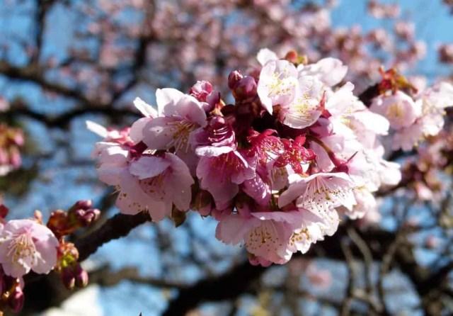 Cherry blossom at Shinjuku National Garden, Tokyo - www.worldwidewriter.co.uk