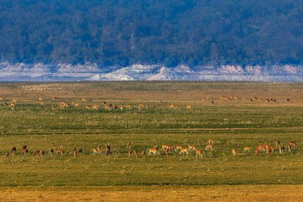 Hog deer and Chital grazing