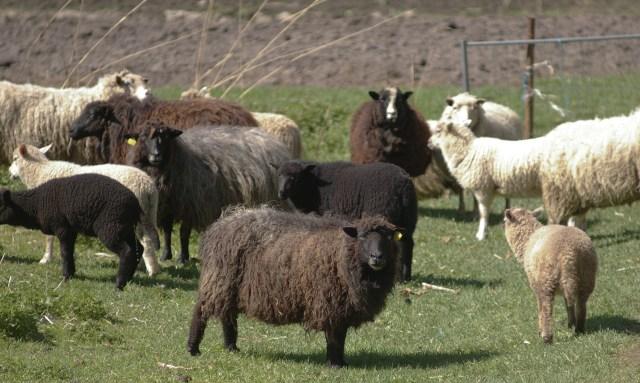 Estonian Native sheep - Ruhnu strain