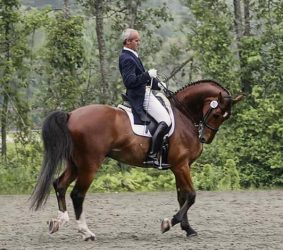 Man riding a bay horse in extreme lateral hyperflexion of the neck or Rollkur