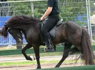 Icelandic Horse hyperflexion