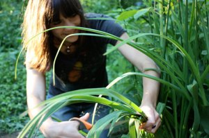 Summer intern Meghan McNealy harvesting ArtFarm grown iris for papermaking.