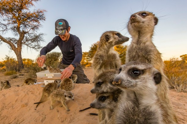 A researcher weighs wild, habituated meerkats (Suricata suricatta) at their burrow in the Kalahari Desert, South Africa. Meerkats' highly social behavior have made them a model for studying the evolution of sociality in mammals. They have been found to practice such extreme social behavior as allolactation, where multiple females in a group will lactate simultaneously to feed pups that are not their own. Capturing the weights of each individual through time is crucial; in addition to tracking the growth of young meerkats, it can also be an indicator of pregnancy or stress. A few drops of water, a scarce resource here in the desert, are used to lure the meerkats onto the weighing scale.