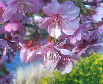 河津桜と菜の花