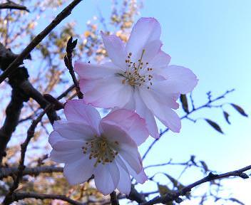 満開の十月桜
