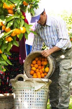 Türkiye, 14 Ekim'de başlayacak 2016/17 sezonunda satsuma mandalina ihracatından 200 milyon dolar döviz hedefliyor.