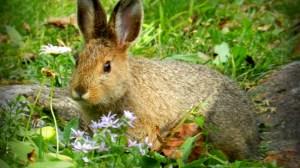 Raising Meat Rabbits: Easy Breeding Program for Consistent Food Production