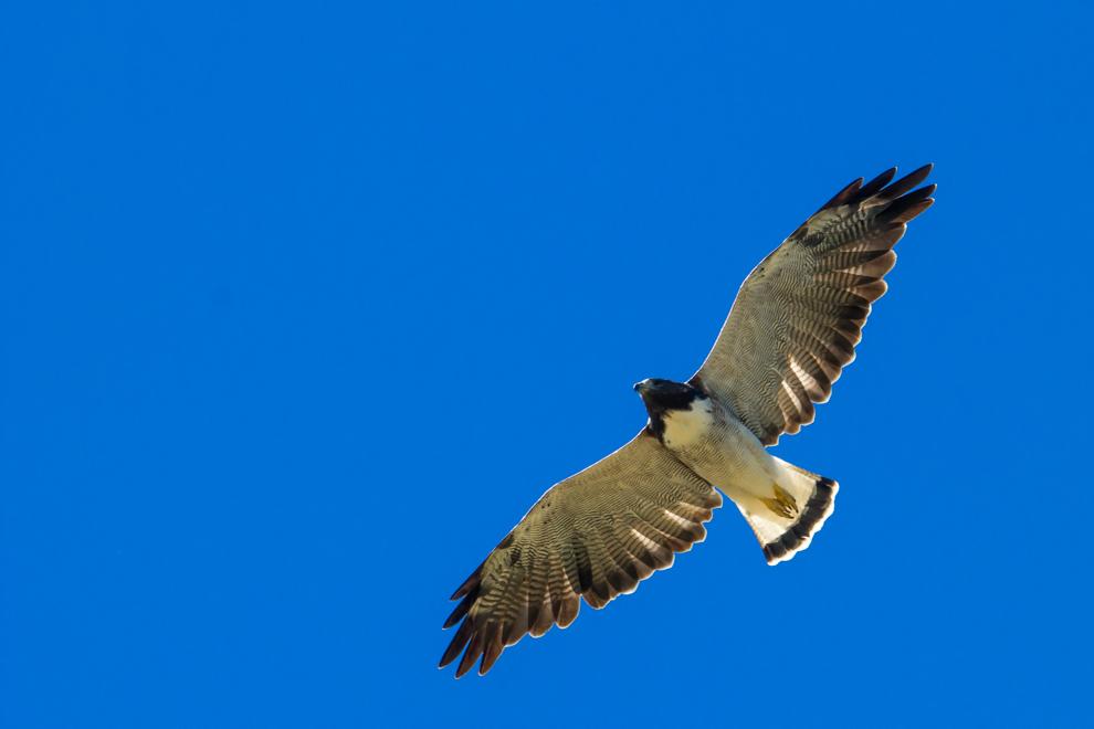 Aguilucho alas largas (Buteo albicaudatus). Esta especie de aguilucho migra desde Norte América hasta el sur de Argentina, es posible verlo en todo el territorio paraguayo, principalmente en bosques secos, campos cerrados y pastizales. Se alimentan de pequeños mamíferos, aves y reptiles. (Tetsu Espósito)