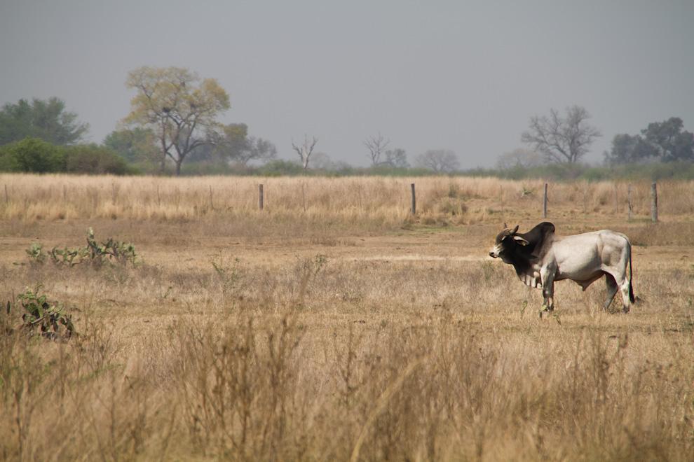 Un buey se alimenta de los secos pastizales a metros del Fortín Nanawa, en el departamento de Presidente Hayes, Chaco Paraguayo. (Tetsu Espósito)
