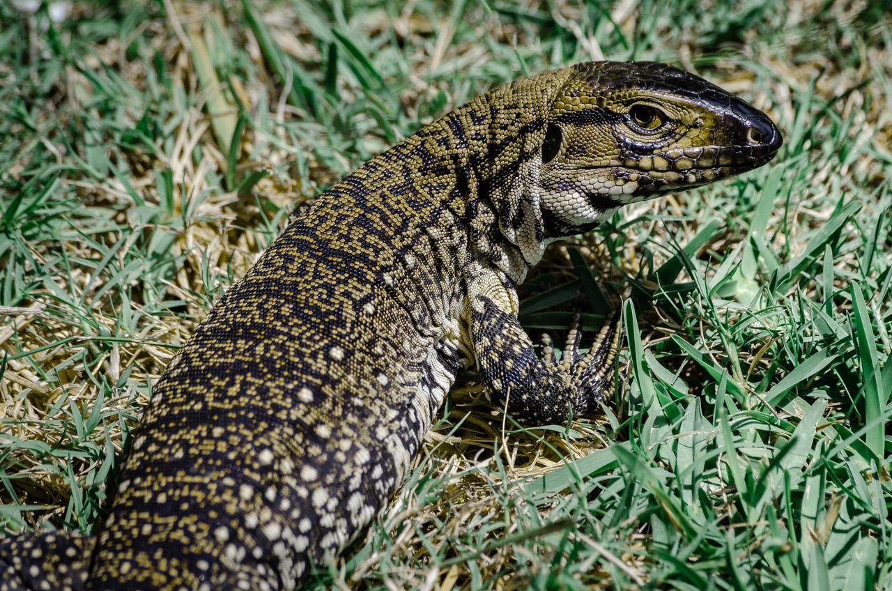 """Un lagarto overo o """"Teju"""" es visto en el patio de una casa de fin de semana en Punta del Diablo. De día salen a tomar sol y a diferencia de otras experiencias, este lagarto se mostraba muy confiado ante la presencia de personas. (Elton Núñez)."""