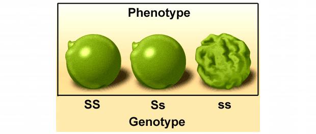 geno-phenotype