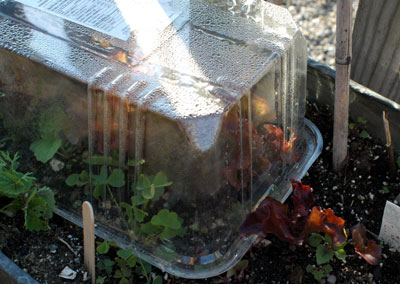 Lettuce growing underneath a cloche