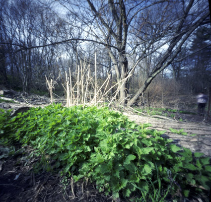stingingnettle_pinhole.jpg