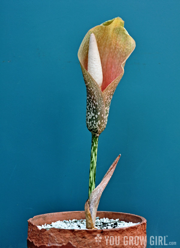 amorphophallus-bulbifer3