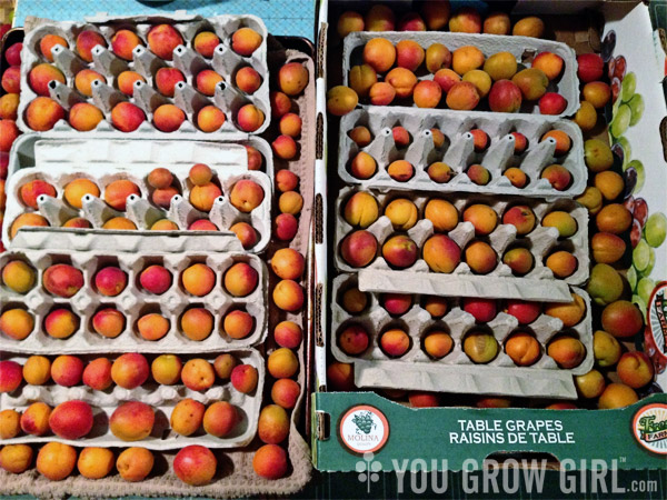 storing freshly picked apricots