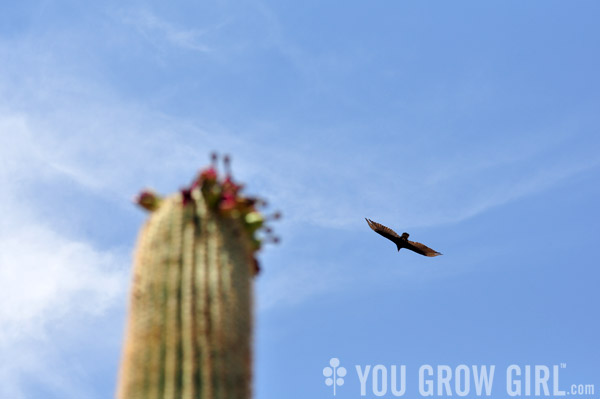 saguaro and turkey vulture