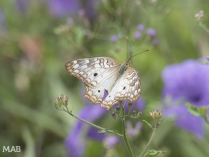 Name That Butterfly?
