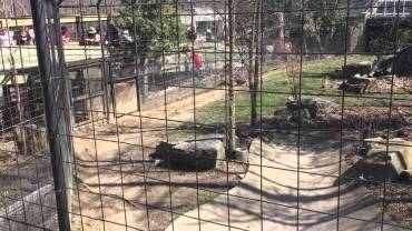 Guy jumps the tiger fence to retrieve a hat