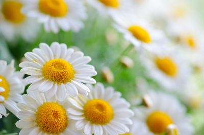 Daisies, White daisies wallpapers and images - wallpapers, pictures, photos
