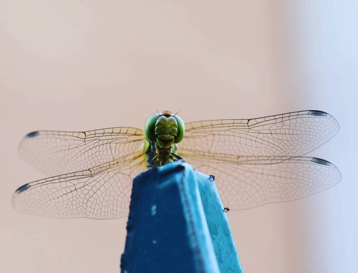 libellula macro