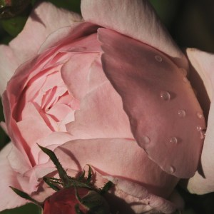 #rose after the #rain #igersiena