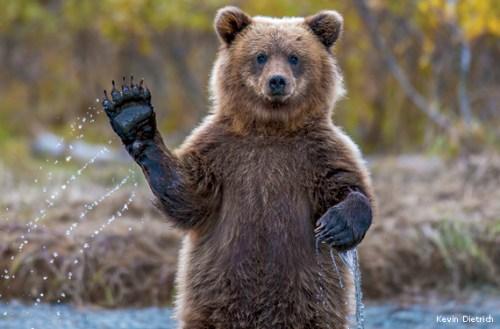 brown-bear-cub-waving-Kevin-Dietrich-570x375