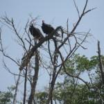 Birds John Crow