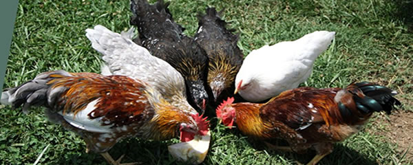 Kienyeji (indigenous) chicken and chicks | Ziwani Poultry
