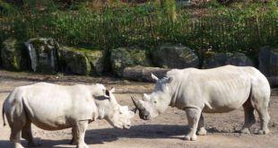 Gus et Kimba, les rhinocéros blancs du Zoo de Lille sont partis