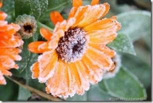 FrostDamage_ProtectYourGardenFromFrostDamage_TrevorAllenIDreamstime.com_2