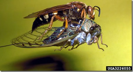 ck-cicada
