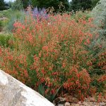 Bridges Penstemon