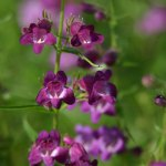 Penstemon 'Pikes Peak Purple'