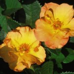 'Morden Sunrise' Rose