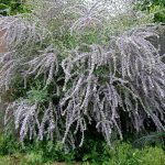 Silver Fountain Butterfly Bush