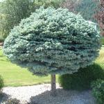 Picea pungens glauca 'Globosa' | Photo courtesy of Bron & Sons Nursery Co.