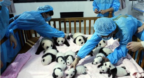 Chengdu-Panda-Breeding-and-Research-Base-2