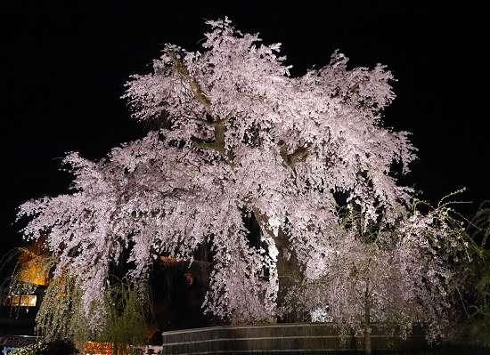 円山公園 しだれ桜 ライトアップ