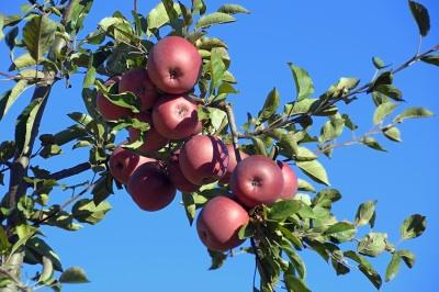 長野県 りんご狩り