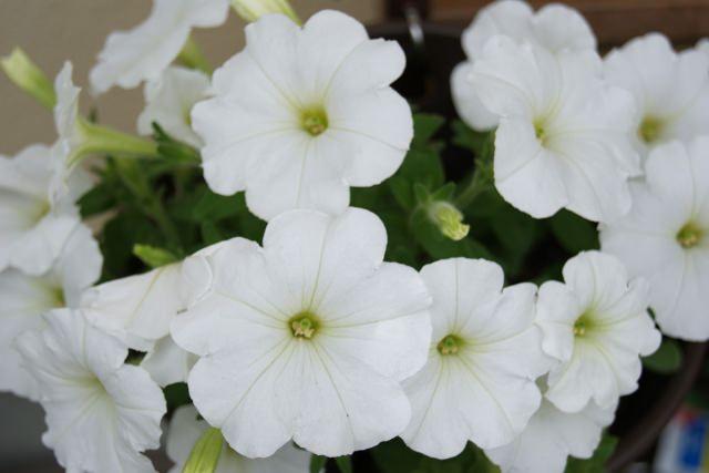 ペチュニア 花言葉
