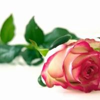 rose-301406_640