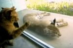 庭にいるオオヤマネコと仲良くなりたい猫。友達になろうと頑張る