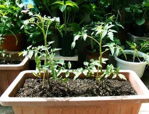 tomato2015 (1)