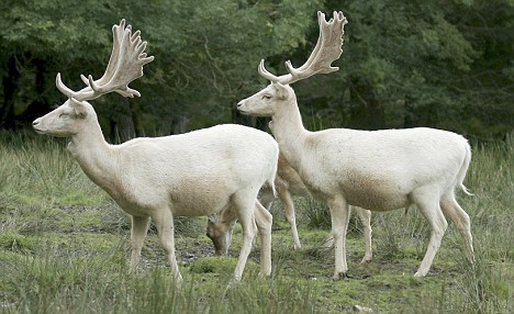 These pure white fallow bucks were snapped as they roamed through the forest. Posed in an almost mirror image, the dazzling white fur of these young bucks cut a truly extraordinary sight next to the brown coats of their fellow deer. The magnificent creatures were snapped by amateur photographer and wildlife enthusiast Stan Kemish, president of the British Deer Society's Wessex division PLEASE SEE OUR COPY FOR FULL STORY. Pic: Stan Kemish/solentnews.biz cStan Kemish/ Solent News 02380 458800 WEBSITE USAGE: £50 per image, unless written agreement already in place with you.