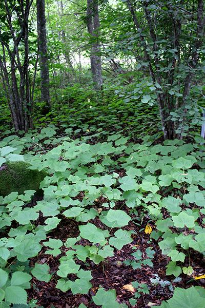 Rubus parviflorus + Corylus avellana, Mustila