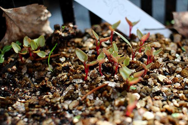 Rankspenat (Hablitzia tamnoides)