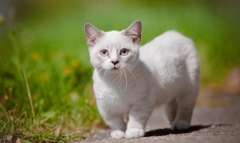 munchkin kitten with short legs