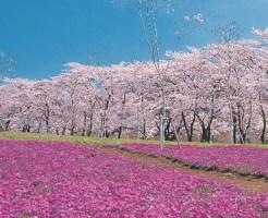 桜 開花予想 2015年