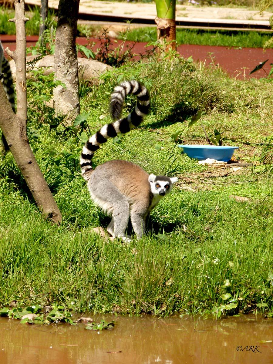Lemur-maki3