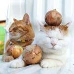 猫が玉ねぎを食べた!! 玉ねぎ中毒の症状や応急処置は?